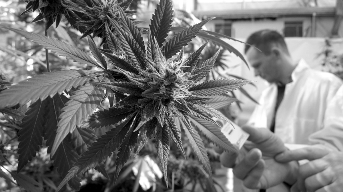 Pharmaceutical giants are sidestepping US marijuana restrictions to research cannabis-based drugs