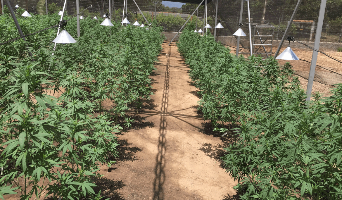 Daabon Strikes Deal With Avicanna, Becoming The Largest Agro Company To Enter The Cannabis Industry